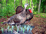 Gobbler and hen turkey taxidermy