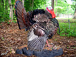 strutting turkey taxidermy
