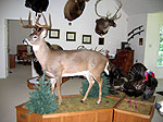 Life Size Whitetail Deer Taxidermy Mounts