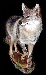 Coyote Taxidermy Mount.